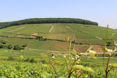 Corton Hillside With Corton-Charlemagne Vineyards
